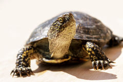 Tortoise on a bright sunny day Royalty Free Stock Image