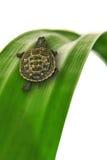 Tortoise che striscia sul foglio Fotografia Stock