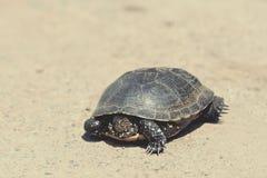 Tortoise chodzi wolno na drodze Zdjęcia Royalty Free