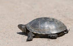 Tortoise chodzi wolno na drodze Obraz Royalty Free