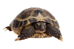 Tortoise close-up Royalty Free Stock Photography