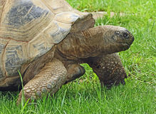 Tortoise Royalty Free Stock Photo