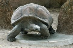 Tortoise close in the Zoo Royalty Free Stock Photo