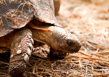 Tortoise closeup Royalty Free Stock Images