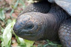 Tortoise closeup. Closeup shot of an endemic and endangered giant tortoise of the Seychelles Royalty Free Stock Image