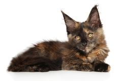 Maine Coon kitten on a white background royalty free stock images
