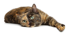 Tortoise-colored cat on a white background Stock Photo