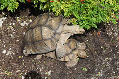 Tortoise copulating. Two turtles breeding, that is copulating or having sex royalty free stock images