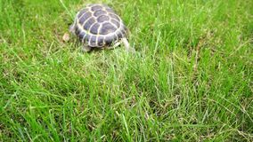 Tortoise crawling in green grass stock footage