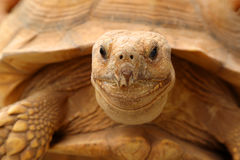 Tortoise. Crawling out of his wooden shelter Royalty Free Stock Photo