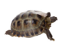 Tortoise crawling on white background Royalty Free Stock Images