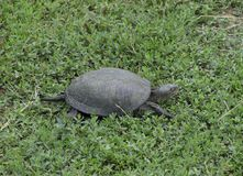 The tortoise crawls along the green grass. Ordinary river tortoise of temperate latitudes. The tortoise is an ancient reptile. Stock Images