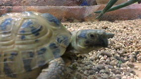 The tortoise creeps in Aviary. Close up of tortoise creeps in Aviary stock video footage