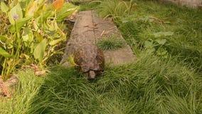 Tortoise crossed narrow bridge 2 Stock Image