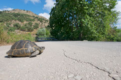 Tortoise crossing the road. The spur-thighed tortoise, Testudo greaca, or Greek tortoise is an endangered tortoise species from southern Europe and the north of Royalty Free Stock Photo