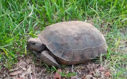Tortoise Crossing. Tortoise, wildlife, florida, animals Stock Images