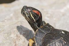 The tortoise Royalty Free Stock Image