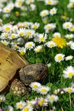 Tortoise and Daisies  #1 Stock Image