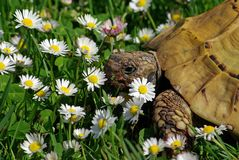 Tortoise and Daisies  #2 Royalty Free Stock Image