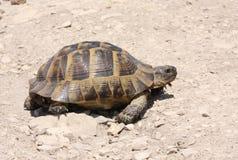 Tortoise del Dente cilindrico-thighed Immagini Stock Libere da Diritti