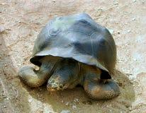Tortoise del Galapagos Immagini Stock