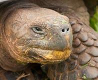 Tortoise del Galapagos Immagine Stock