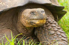 Tortoise del Galapagos Fotografia Stock