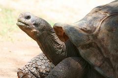 Tortoise del Grandpa II Fotografia Stock Libera da Diritti