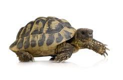 Tortoise del Herman - hermanni del Testudo Immagini Stock Libere da Diritti