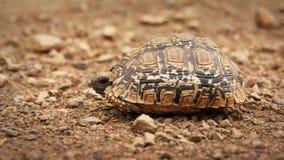 Tortoise del leopardo Immagini Stock