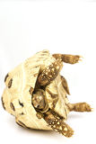 Tortoise del leopardo Fotografie Stock Libere da Diritti