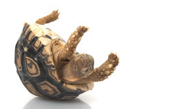 Tortoise del leopardo fotografia stock