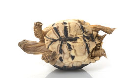 Tortoise del leopardo fotografie stock