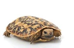 Tortoise del pancake Fotografia Stock Libera da Diritti