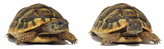 Tortoise delle tartarughe Immagine Stock