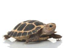 Tortoise di Fosten Fotografie Stock