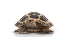 Tortoise di Fosten fotografia stock libera da diritti