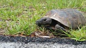 Tortoise di Gopher Immagine Stock Libera da Diritti