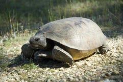 Tortoise di Gopher in situ fotografie stock libere da diritti