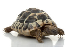 Tortoise di Herman?s Fotografia Stock Libera da Diritti