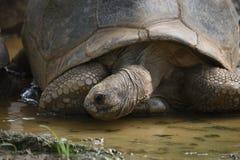 Tortoise drinking water Royalty Free Stock Photo
