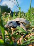 Tortoise dziecko Obrazy Royalty Free