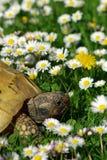 Tortoise e margherite #1 Immagine Stock