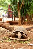 Tortoise eat plants for food in the wild. Royalty Free Stock Images