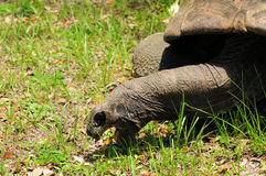 Tortoise Eating Royalty Free Stock Photos