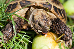 Tortoise eating apple Royalty Free Stock Photo