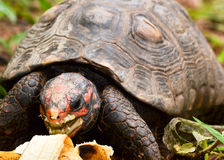 Tortoise eating banana Royalty Free Stock Photo