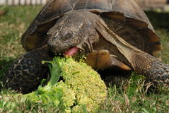 Tortoise Eating Broccoli, fron. Close-up of a tortoise eating broccoli with tongue showing, front view Royalty Free Stock Images