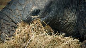 Tortoise Eating Dried Grass Closeup stock video footage