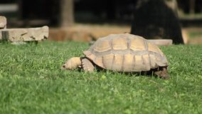 A tortoise eating furiously. This tortoise is mad and angry because he is hungry stock video